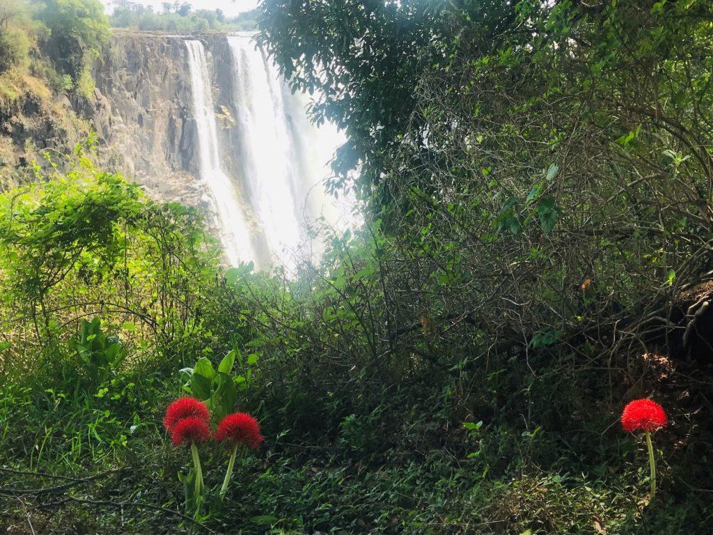 Fireball lilies brighten up the Victoria Falls rainforest