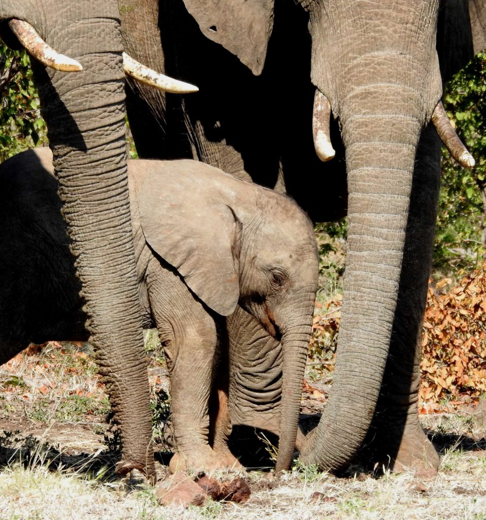 A baby elephant with its herd at the waterhole